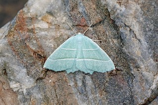 Light Emerald, Roudsea, Cumbria, England