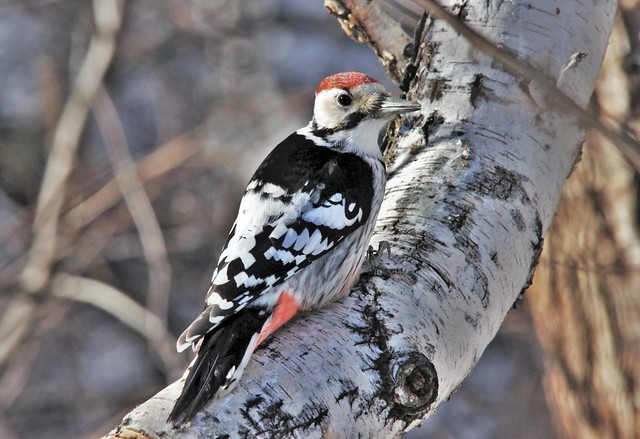White-backed Woodpecker, Canon EOS 600D, Sigma 150-500mm f/5-6.3 APO DG OS HSM