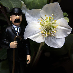 2018-12-17 Dupont on tour - Julerose - Christmas rose - Helleborus niger