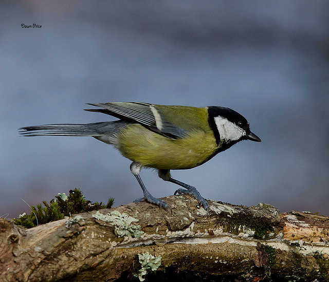 Great  tit foraging, Nikon D7000, Sigma 150-500mm F5-6.3 DG OS APO HSM
