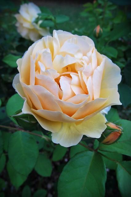 beautiful rose :), Canon POWERSHOT SX150 IS