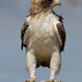Booted Eagle - Photo (c) Derek Keats, some rights reserved (CC BY)