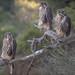 Prairie Falcon - juveniles by Pauls Outdoors