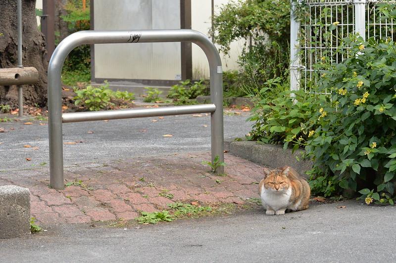 Nikon Df+AF P DX NIKKOR 70 300mm f4 5 6 3G ED VR池袋一丁目児童遊園の猫 キジ三毛