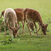 12 Fallow Deer.