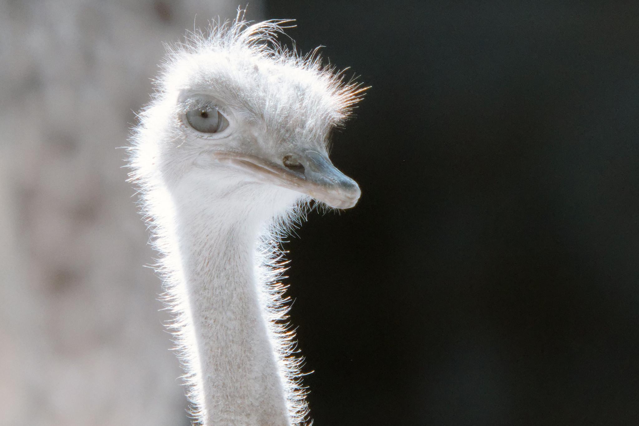 Ostrich In Infrared