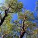 Arbutus Canopy