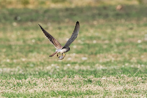 Turmfalke - Common Kestrel - Falco tinnunculus - 8