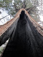 Black Jack tree