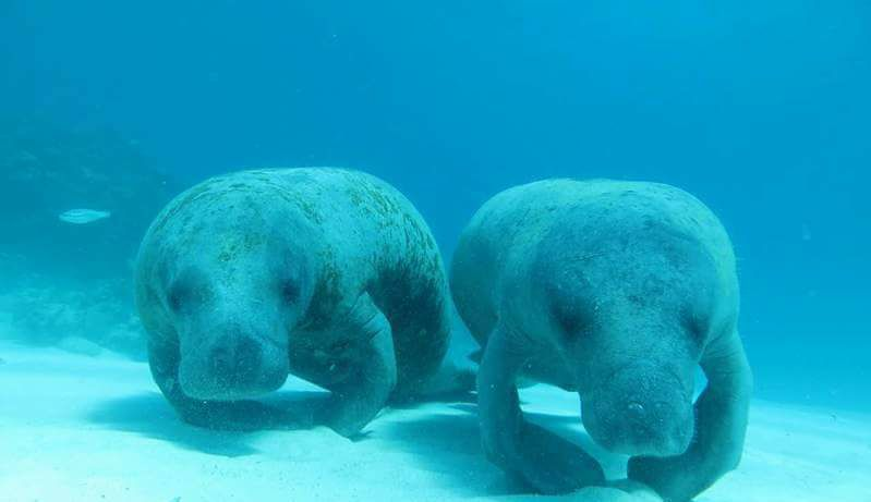 photo of two manatees