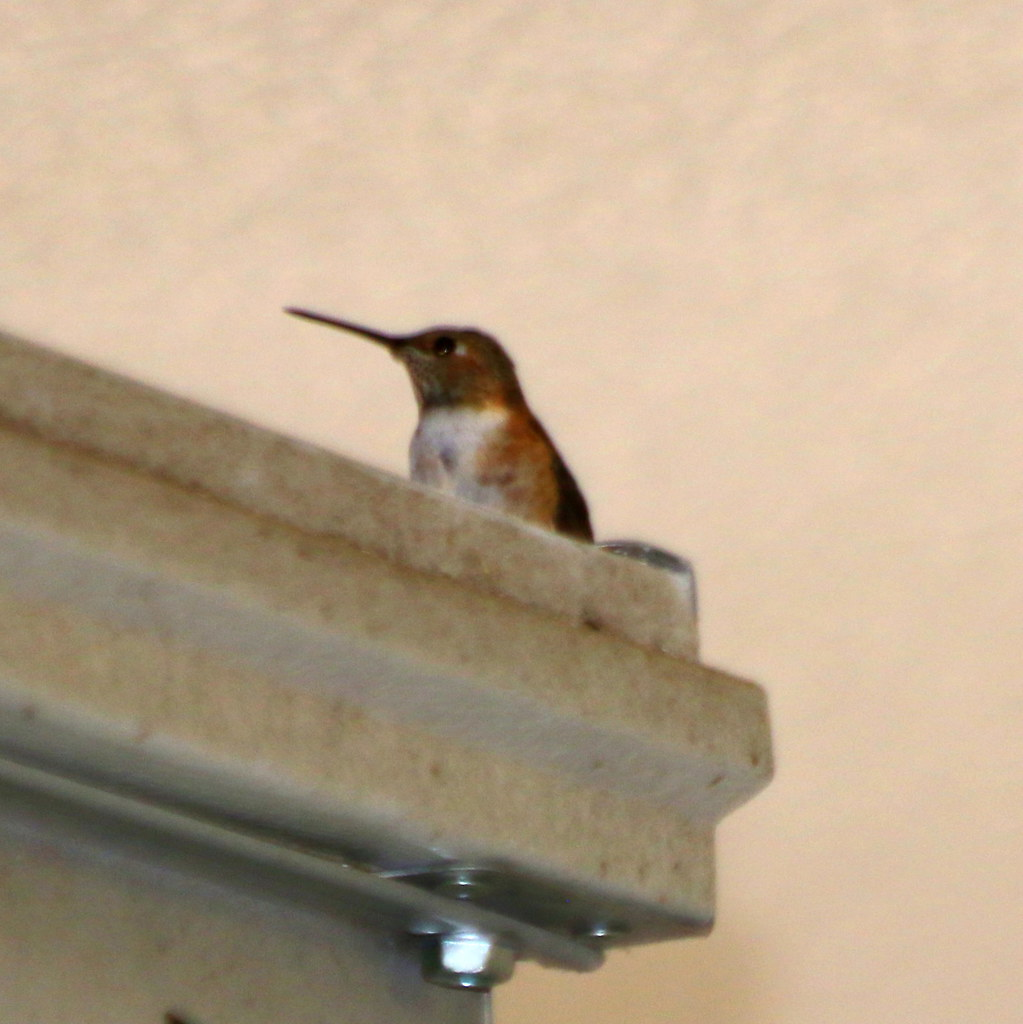 The Hummingbird Who Came in from the Cold