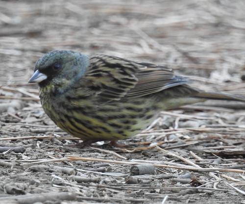 石神井公園の野鳥~アオジの場所