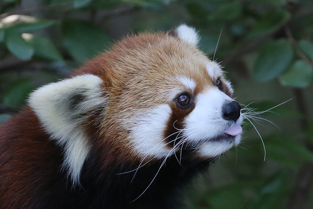 Idgie - Red Panda, Canon EOS 6D, Canon EF 70-300mm f/4-5.6L IS USM