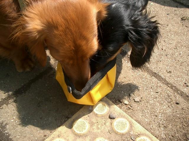 散歩マナーを守って水を飲む犬