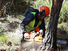 Plan de emergencia para enfrentar sequía y Escarabajo del Pino se consolida con la llegada de las primeras ayudas