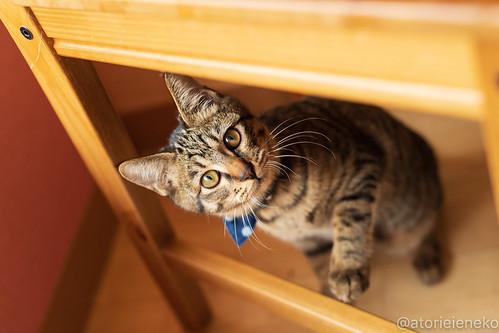 アトリエイエネコ Cat Photographer 46128206371_954541ed01 1日1猫!おおさかねこ倶楽部 里活中のおうくん♪ 1日1猫!  里親募集 茶トラ 猫写真 猫カフェ 猫 子猫 写真 保護猫カフェ 保護猫 ハチワレ ニャンとぴあ サビ猫 キジ猫 カメラ おおさかねこ倶楽部 Kitten Cute cat