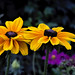A yellow couple of black-eyed-Susan