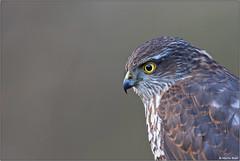 Sperwer (Accipiter nisus) / Eurasian sparrowhawk