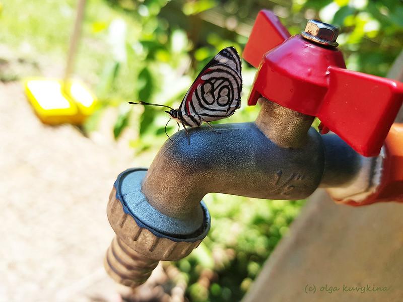 Бабочка Diaethria astala
