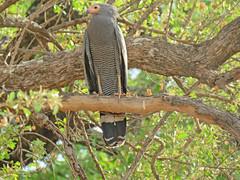 gymnogene; s luangwa national park