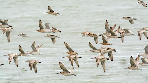 Flying-godwits