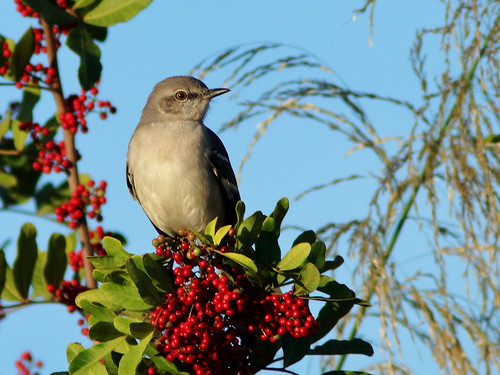 Northern Mockingbird on Brazilian Pepper 20181211