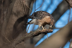 Red-shouldered Hawk eating Garter Snake
