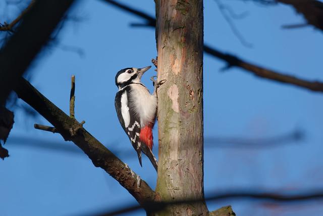 Great Spotted Woodpecker, female (Dendrocopos major) Större hackspett