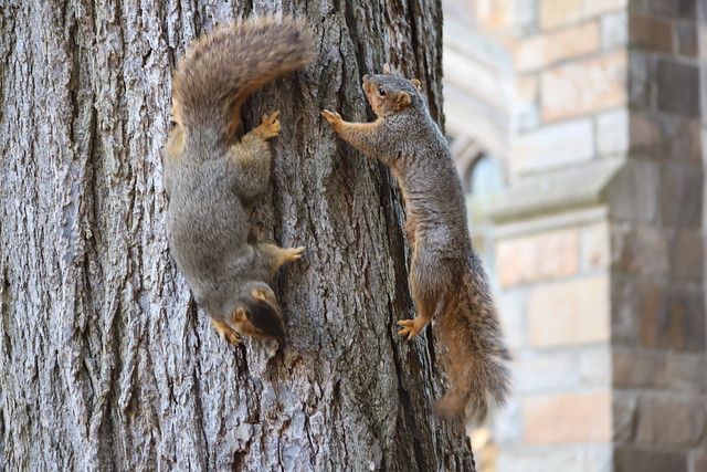 217/365/3869 (January 14, 2019) - Fox Squirrels in Ann Arbor at the University of Michigan - January 14th, 2019