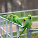A Fence of Parakeets!