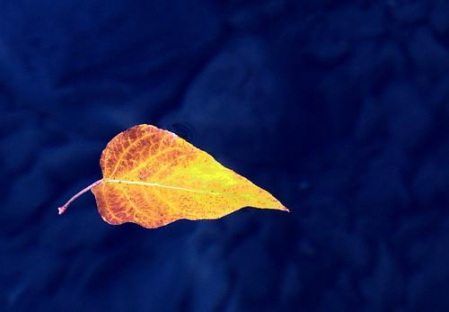 Floating Lake Leaf