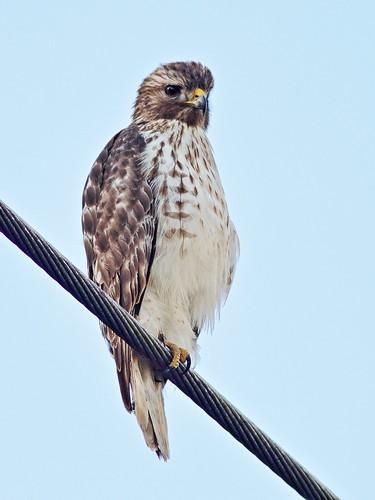 Red-shouldered Hawk immature 07-20181220