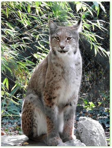 Le lynx un splendide félin en 3 photos - The lynx a splendid feline in 3 photos