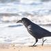 Crow at beach