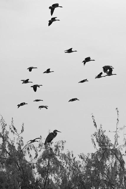 Heron's Sky Parade