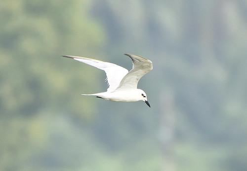 gullbilledtern tern chunampet