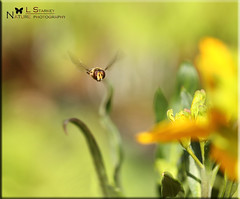IN FLIGHT HOVERFLY