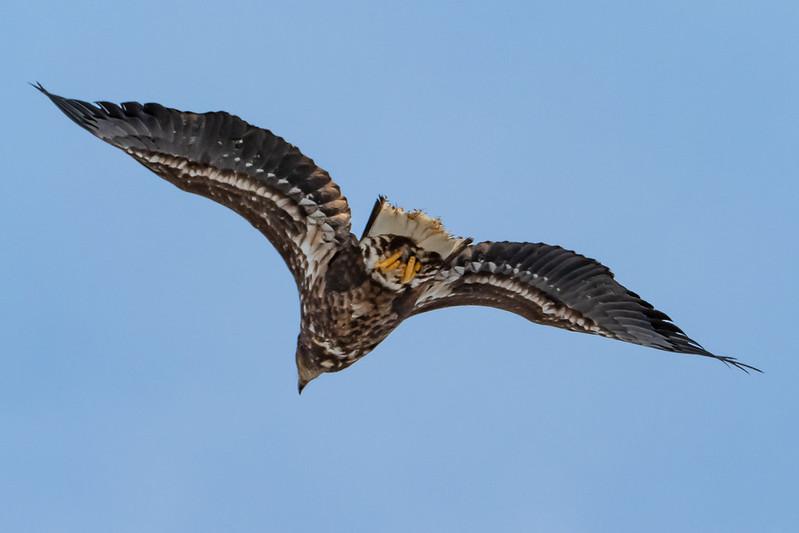 札幌市豊平川河川敷で見つけたオジロワシの飛翔シーン