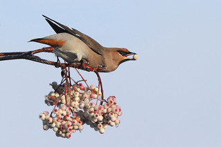 Bohemian Waxwing (Bombycilla garrulus) | by Wildlife Photography by Matt Latham