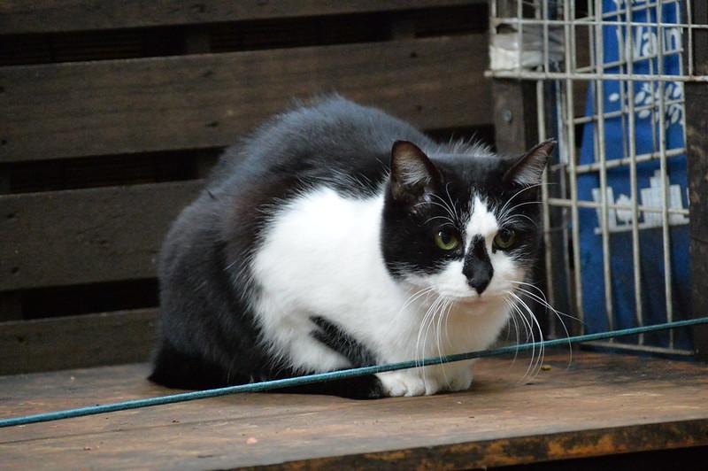 Nikon Df+AF P DX NIKKOR 70 300mm f4 5 6 3G ED VR東池袋中央公園の猫だまり 黒白八割れ