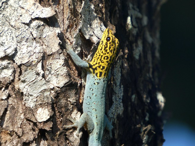 Dwarf yellow-headed gecko