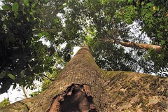 Rainforest tree Mikongo Forest in Lope National Park in Gabon
