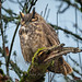 Great Horned Owl 20181025_7019 by GORGEous nature