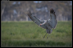 Brolga—Swinging In