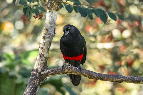 Hypopyrrhus pyrohypogaster   (Red-bellied Grackle / Cacique candela)