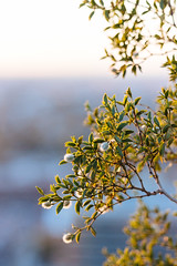 Creosote bush, A Mountain / Hayden Butte, Tempe