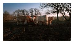 Des vaches #1