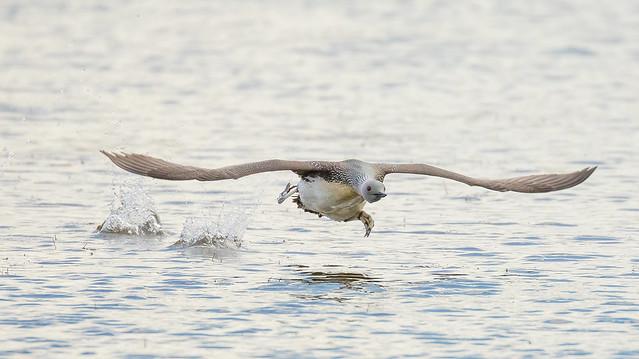 Red-throated loon / Lómur (Gavia stellata)