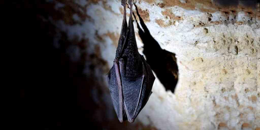 Une étude montre comment les chauves-souris manœuvrent