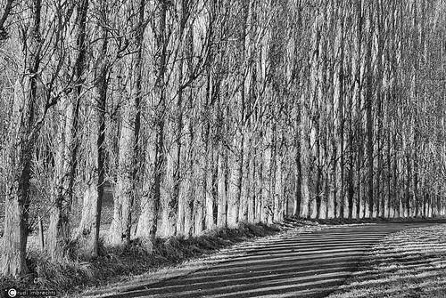 Poplars in black and white